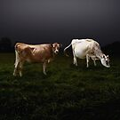 Cows by BigD
