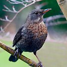 Female Blackbird by Geoff Carpenter