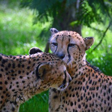 Cheetahs Grooming by venny