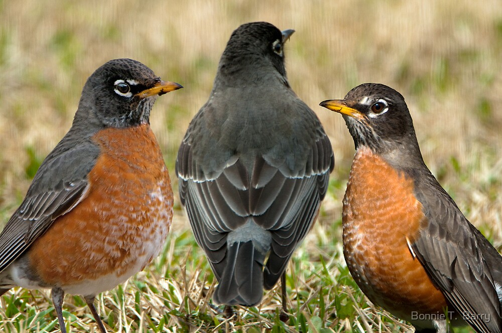 Stay, little cheerful Robin, stay! by Bonnie T.  Barry