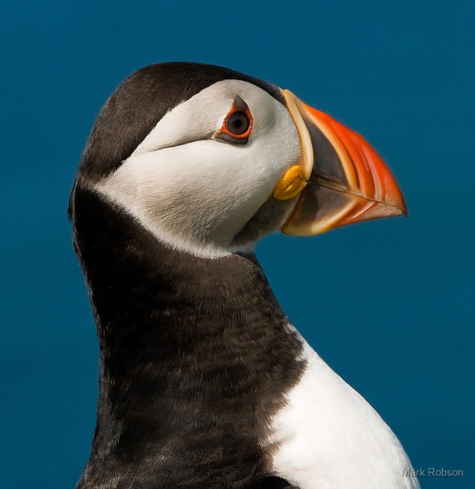 Puffin Profile by Mark Robson