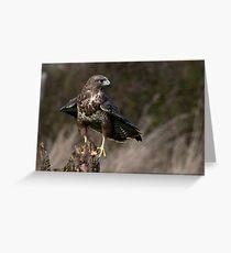 Peregrine Falcon (Falco peregrinus) Greeting Card