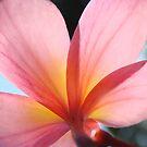 Pink Frangipani Beauty-(Macro) by Martice