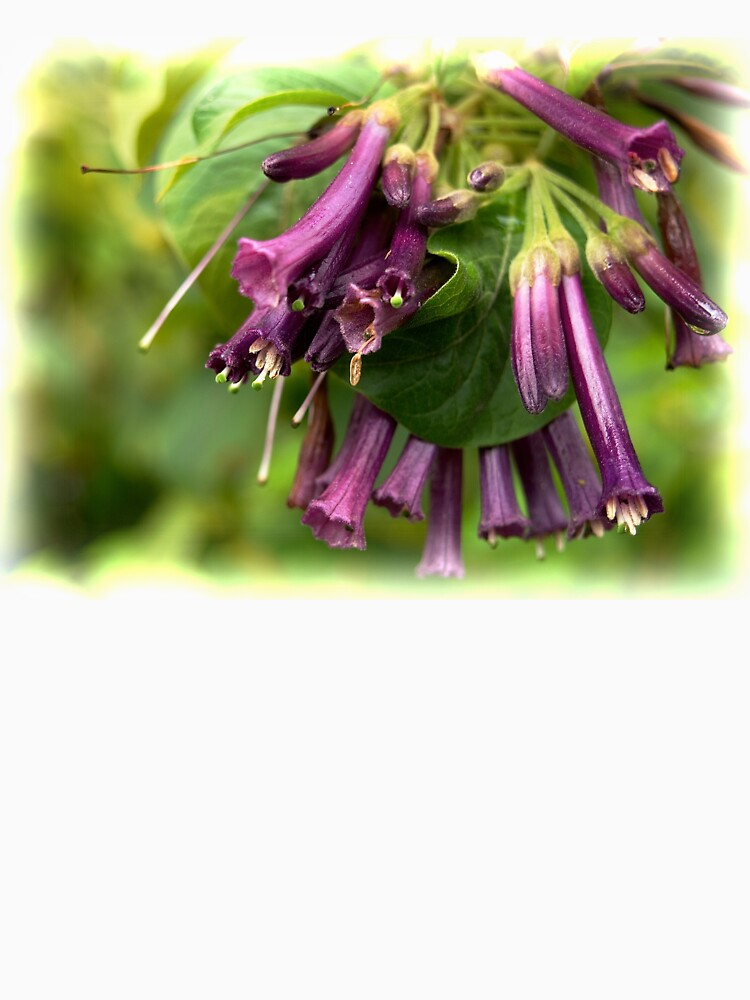 Purple Iochroma Flowers by douglasewelch