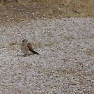 I'M LOOKING FOR MUM! 2nd kestral chick. by Rita Blom
