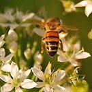Bee on Garlic Chives by Julie Sherlock