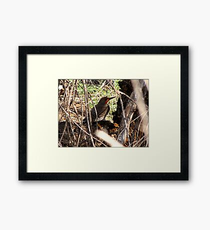 Northern Flicker (Red-shafted) ~ Male Framed Print