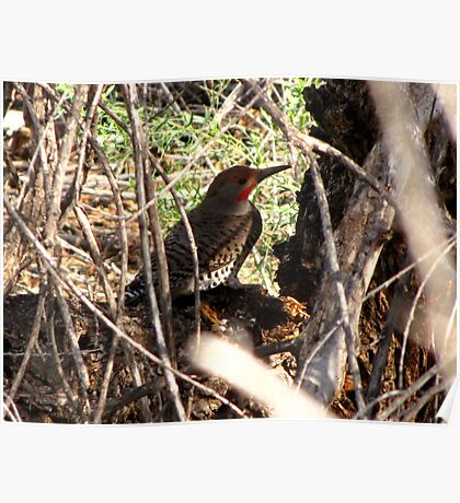 Northern Flicker (Red-shafted) ~ Male Poster