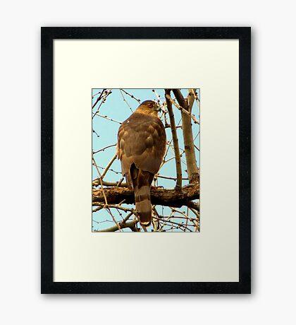 Coopers Hawk ~ Accipiter Framed Print