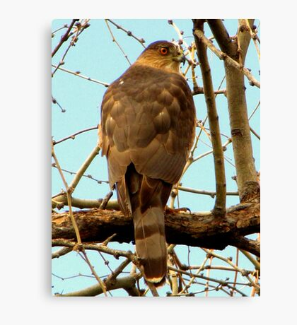 Coopers Hawk ~ Accipiter Canvas Print
