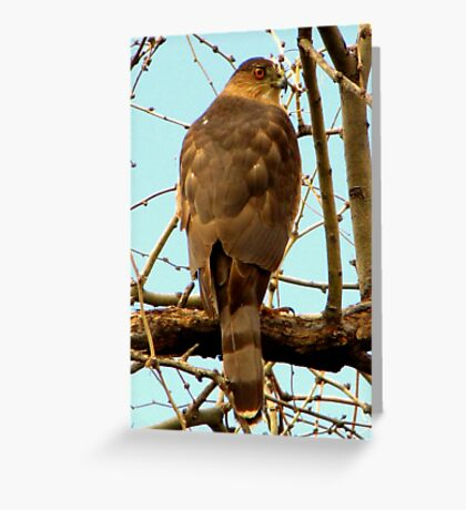 Coopers Hawk ~ Accipiter Greeting Card