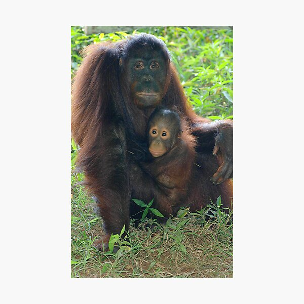 Sumatran Orangutan 1 Photographic Print