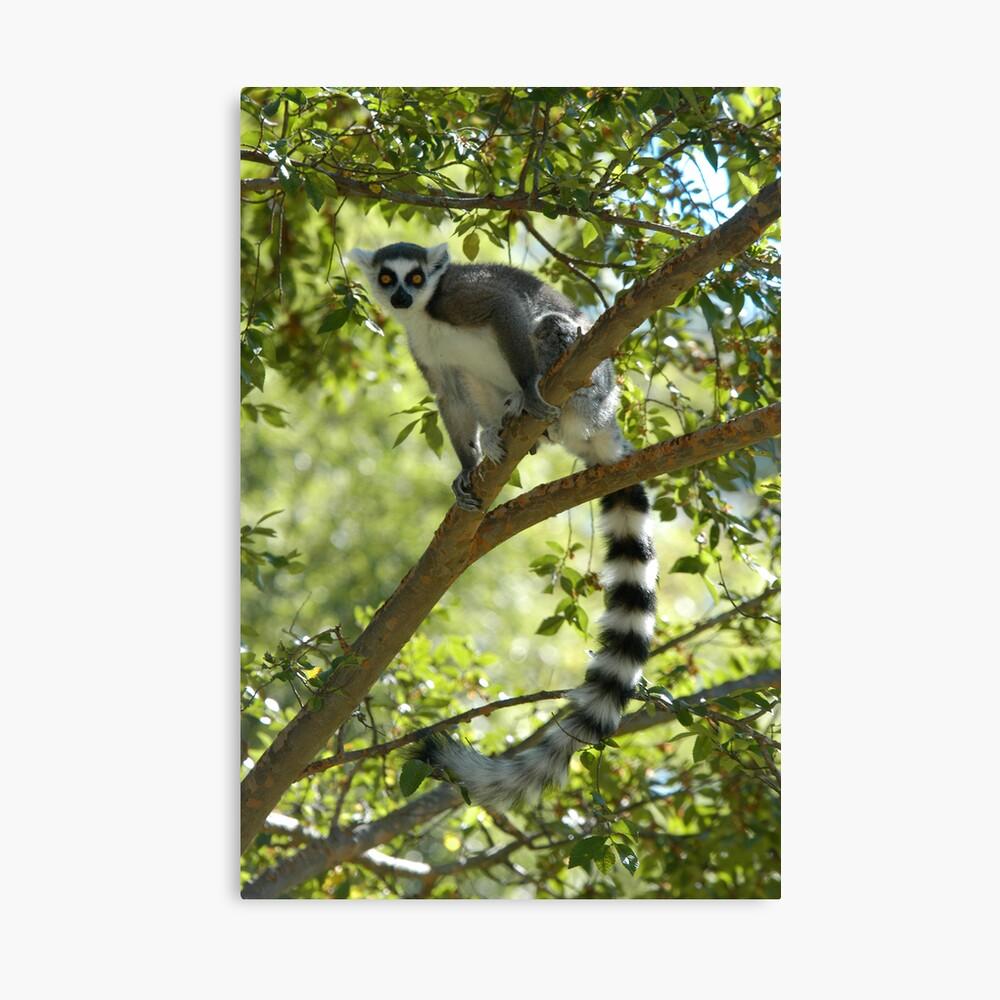 Ring-tailed Lemur 2 Canvas Print