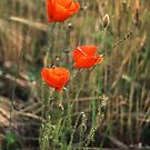 Three Poppies by newbeltane