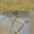 Pied Kingfisher thront von vrphotographysa