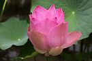 Pink Lotus Blossom by coffeebean