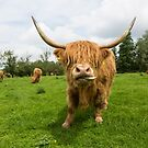 Highland Cow looking straight at you standing in a field by Alex Sharp