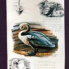 Swans & signets by Robert David Gellion