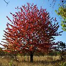 Red leafed tree by Lenka Vorackova