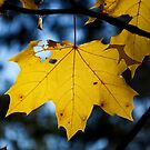 Yellow maple leaf by Lenka Vorackova