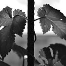 Vines in black and white by Lenka Vorackova