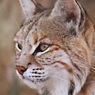 Canadian Lynx by Alyce Taylor