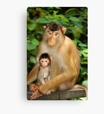 Pig-tailed Macaque 2 Canvas Print