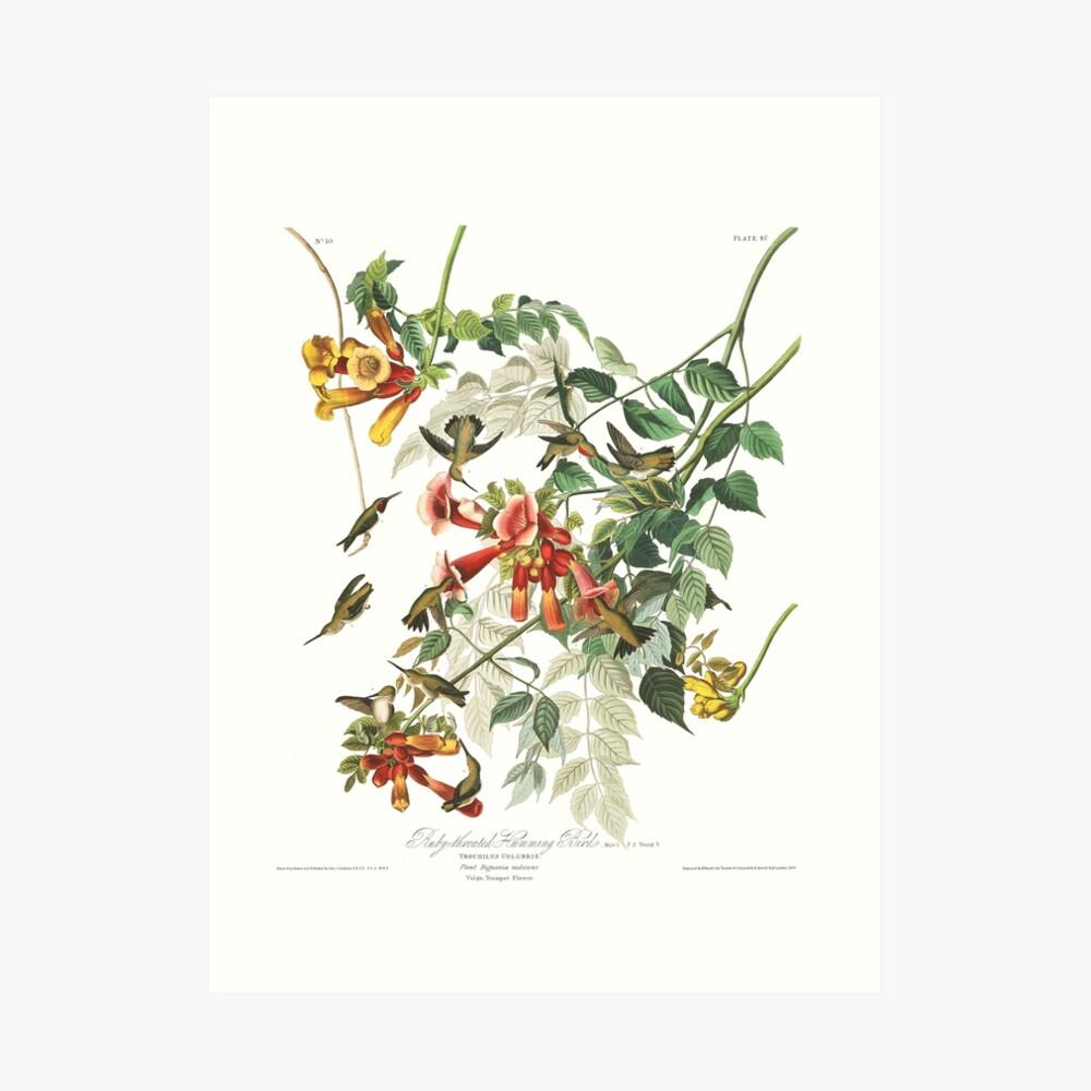 Rubinkehlkolibri - John James Audubon Kunstdruck