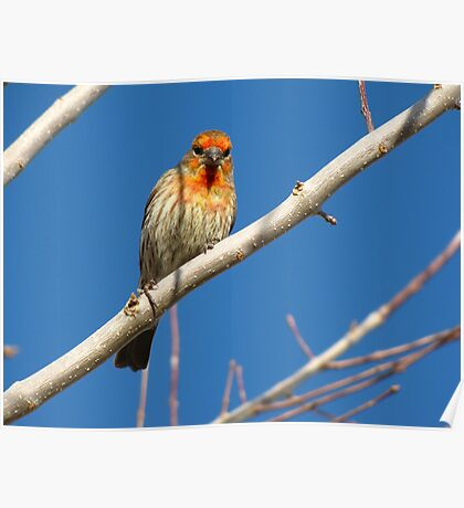 House Finch (Orange Variant) ~ Male Poster