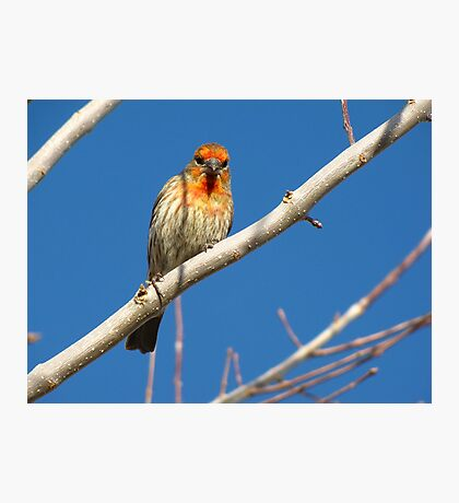 House Finch (Orange Variant) ~ Male Photographic Print