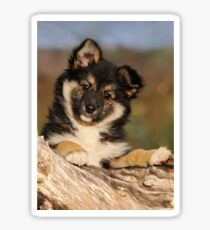 """Puppy-eyed""  Icelandic Sheepdog Sticker"
