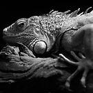 Iguana In Black by Derek Kan