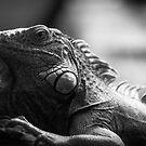 Iguana In Black and White by Derek Kan