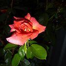night rose by mowieb