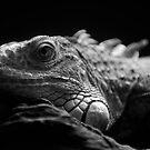Iguana Up Close in Black and White by Derek Kan