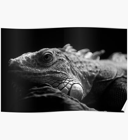 Iguana Up Close in Black and White Poster