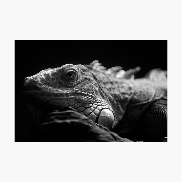 Iguana Up Close in Black and White Photographic Print