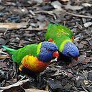 Rainbow Lorikeet by STEPHANIE STENGEL | STELONATURE PHOTOGRAPHY
