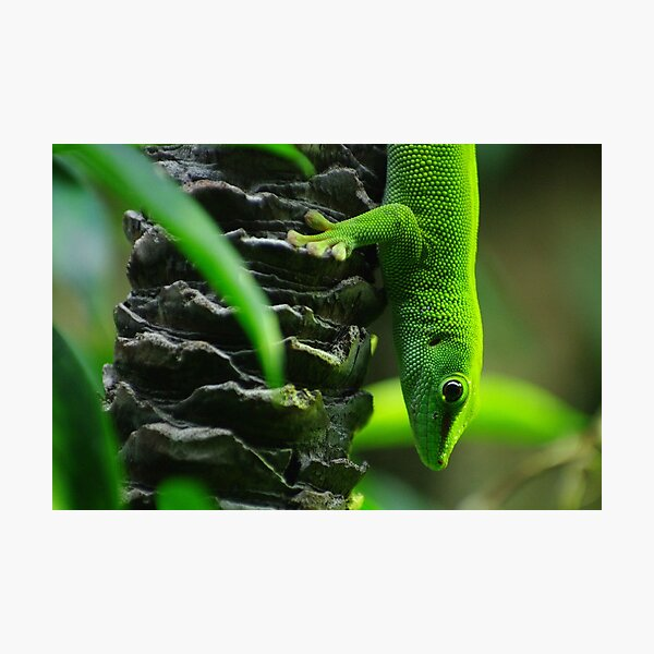 Bright Green Lizard Photographic Print