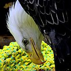 Bald Eagle #3  by lanebrain photography