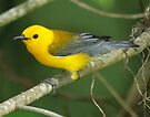 Prothontary Warbler by Dennis Cheeseman