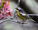 Magnolia Warbler by Dennis Cheeseman