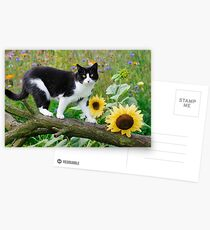 Tuxedo cat and sunflowers Postcards