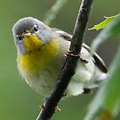 Warblers by Dennis Cheeseman
