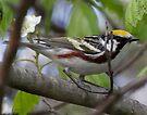 Chestnut Sided Warbler by Dennis Cheeseman