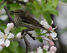 Cape May Warbler by Dennis Cheeseman