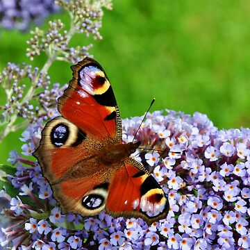 The Peacock Butterfly by Retiree