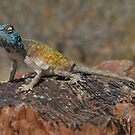 Blue-headed tree agama (Acanthocerus atricollis) by christopher363