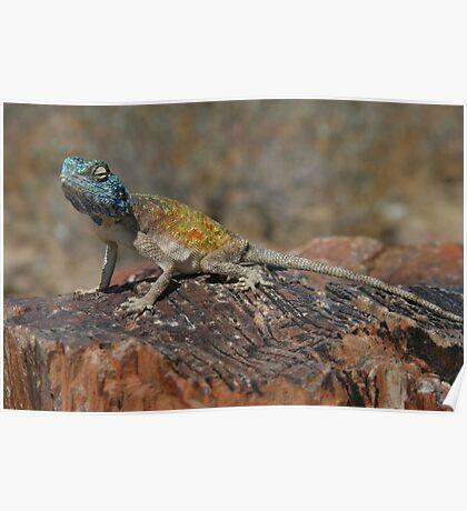 Blue-headed tree agama (Acanthocerus atricollis) Poster