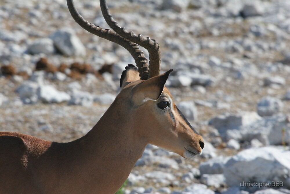 Impala (Aepyceros melampus) portrait by christopher363